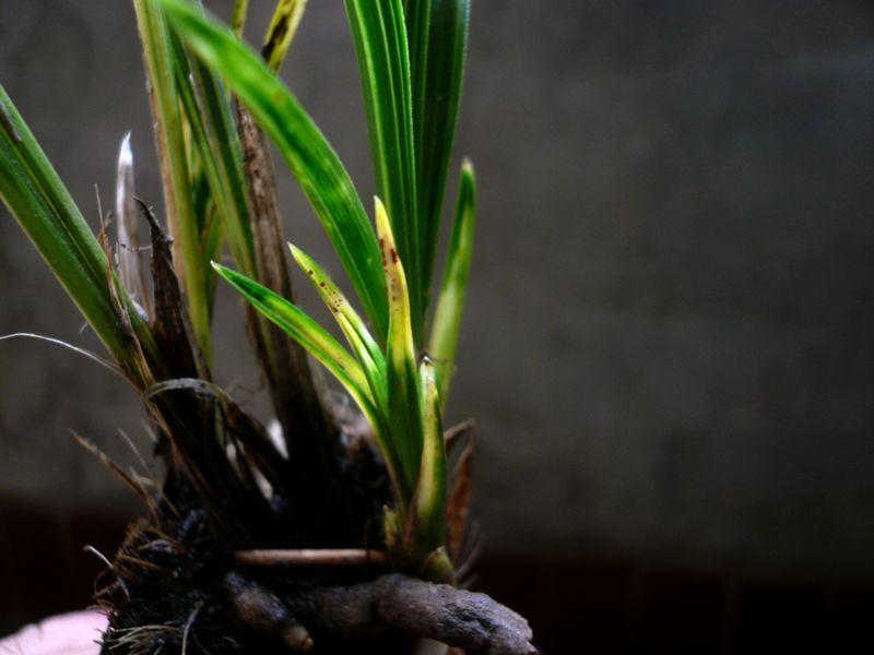 下山新品春兰立叶斑丝缟图片