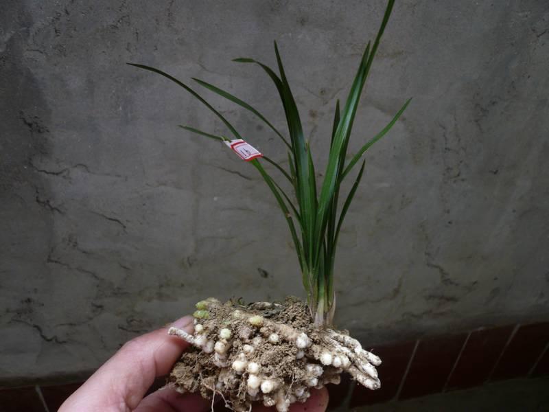 (16)春兰绿小叶龙蛋图片